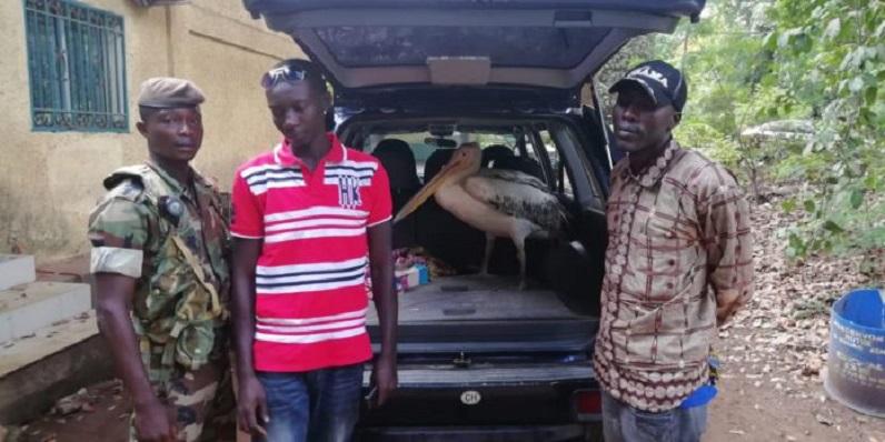 Ce présumé trafiquant de pélican a été mis aux arrêts dans la banlieue de Conakry