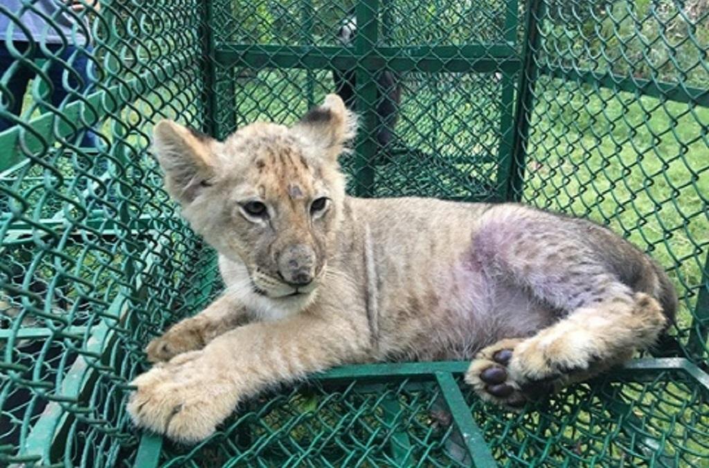 Un lion saisi des trafiquants d'animaux par Interpol