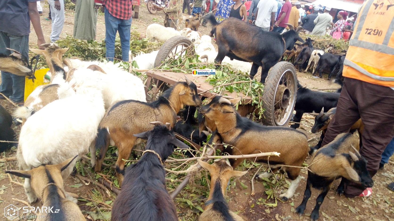 Des troupeaux de moutons et chèvres à Labé