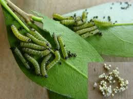 Un groupe de chenilles sur des feuilles de plante